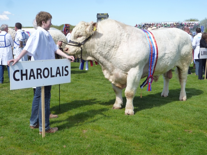 Charolais on parade