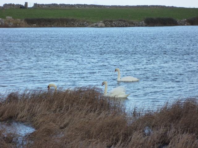 Swans at Lough Murree beside the Flaggy Shore, January 2013  Photo: © Michael Fisher