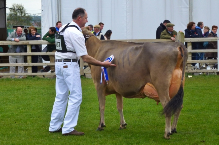 Jersey cow Potterswalls Glams Elisha wins the dairy interbreed champion award at Balmoral Show Photo:  © Michael Fisher