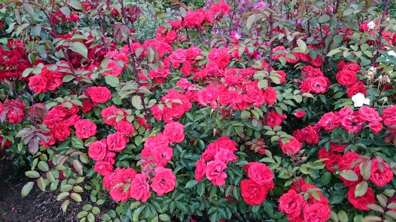 BELFAST ROSE WEEK (2/6)
