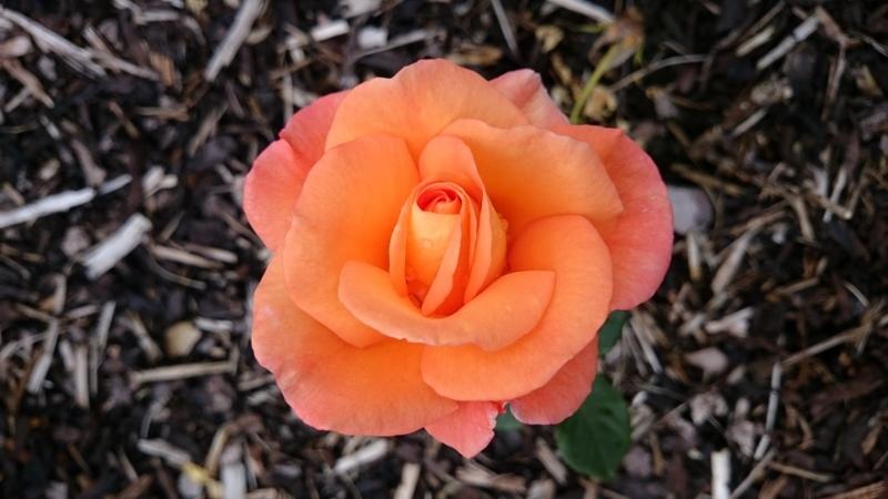BELFAST ROSE WEEK (4/6)