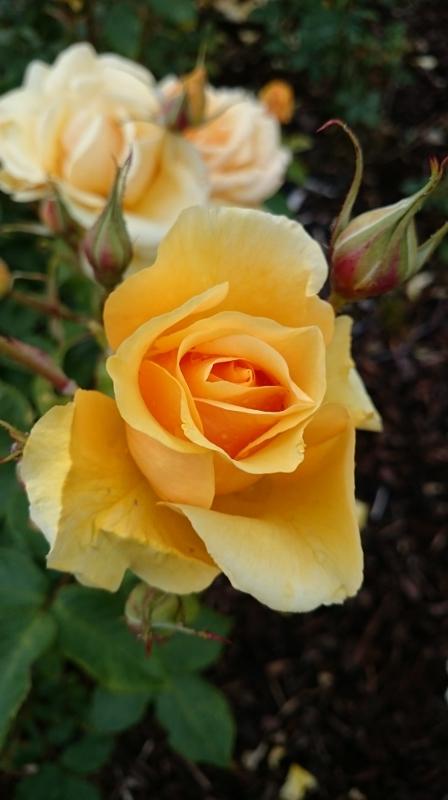 Benita rose  Photo:  © Michael Fisher