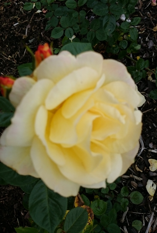 Arthur Bell rose  Photo:  © Michael Fisher