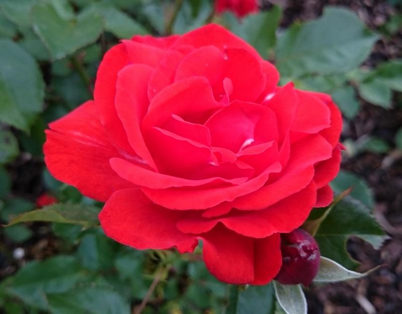 BELFAST ROSE WEEK (1/6)