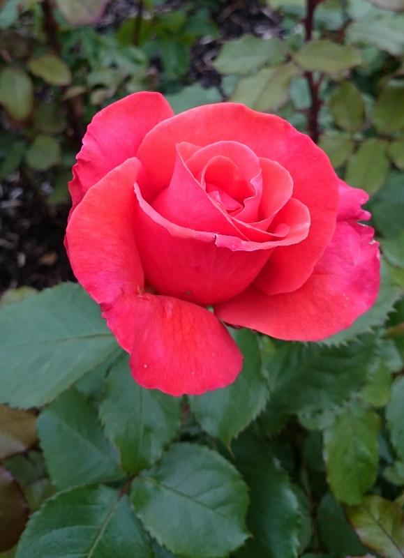 Pride of Scotland rose   Photo:  © Michael Fisher