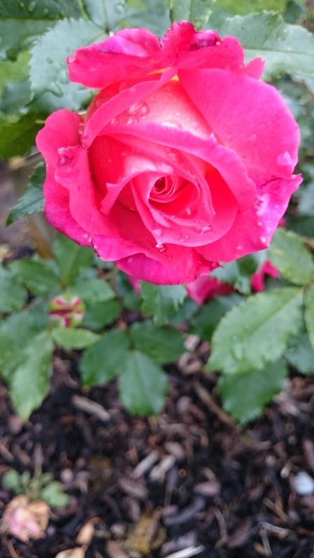 BELFAST ROSE WEEK (3/6)